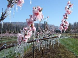 Frost peach blossom