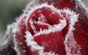 frost roses 2