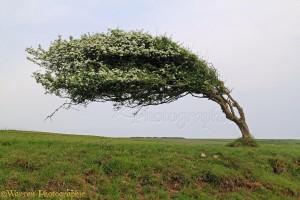 Wind-blown Hawthorn (Crataegus monogyna) tree