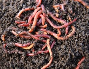 worm breeding