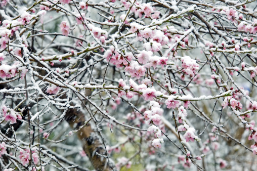 frost blossoms